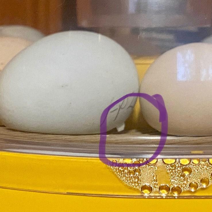 Chick Egg Cracking