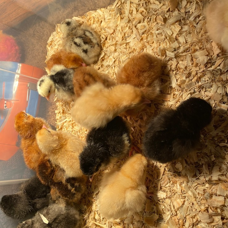 Chicks In New Home